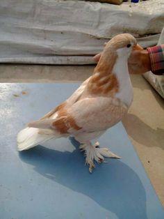 Lahore pigeon Pet Pigeon, Pigeon Loft, Pigeon Bird, Dove Pigeon, Pretty Birds, Beautiful Birds, Animals Beautiful, Pigeon Pictures, Animal Pictures