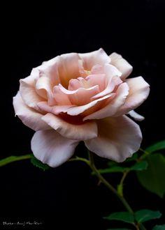 Pink rose 6 by Shuji Horikiri on 500px