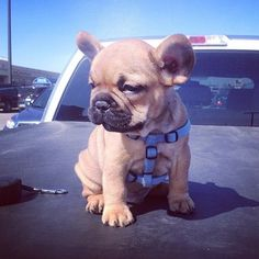 Thought I would wind my mum up by saying I wanted what I thought was the ugliest little dog ever. It backfired! I now DO want one coz I think they are soo cute! Served me right.