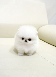 Seriously hard to believe this is a real dog!! It looks like a toy...or a giant cotton ball :) Still cute