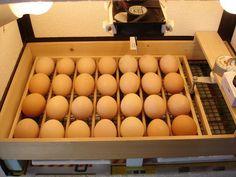 My DIY automatic egg turner Portable Chicken Coop, Backyard Chicken Coops, Diy Chicken Coop, Chickens Backyard, Backyard Ducks, Homemade Incubator, Diy Incubator, Chicken Incubator, Hatching Chickens