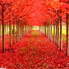 عاشقانه پاییزی Delonix Regia, Oregon, Dark Hedges, Carolina Do Sul, Ginkgo, Tree Tunnel, World's Most Beautiful, Nature, Vineyard