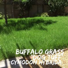 Buffalo grass, Cynodon hybrida 'Dog Tuff' grass plugs. Hands down this is my most favorite native grass for homeowners who want a grass lawn but don't want the guilt of over watering. This grass comes in plugs and fills in after about 20 days. It can withstand the heavy use of dogs and kids unlike other native grasses. It spreads via runners, not seeds, and fills in so tightly that by year three weeds are not an issue. Care and Maintenance: Dog Tuff Buffalo grass is NOT a regular lawn grass…