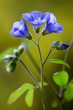 Jacobs Ladder #flowers