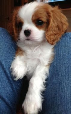 Cavalier King Charles puppy. If only I wasn't so allergic, I would have one of…