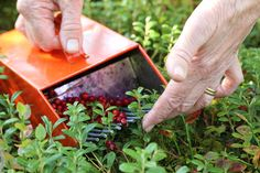 Lingonberries are to Scandinavians what blackberries are to Americans – an abundant wild fruit free for the taking by anyone with a basket, a harvesting fork, and the patience to pick through and clean their harvest.