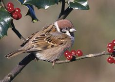Tree sparrow in holly