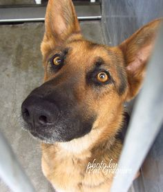 A4686712 My name is Samantha. I am a friendly 1.5 yr old female black/brown German Shepherd. My family left me here on April 20. available now. located in bldg 4 - no public view Baldwin Park Shelter https://www.facebook.com/photo.php?fbid=960269320651572&set=a.705235432821630&type=3&theater