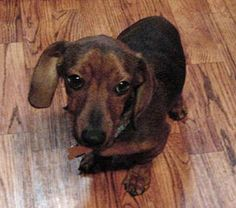Meet Cameron, an adopted Dachshund Dog, from Southern California Dachshund Rescue in La Habra, CA on Petfinder. Learn more about Cameron today. Dachshunds For Sale, Dogs And Puppies, Beautiful Creatures, Animals Beautiful, Pet Finder, Dachshund Rescue, Animal Welfare, Cute Baby Animals, Mans Best Friend