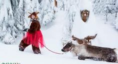 Holly the Jolly Reindeer try's out to be one of Santa's Reindeer at the Peak of Christmas - Grouse Mountain
