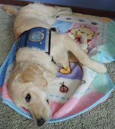 Lily Comfort Dog on her Winnie the Pooh blanket! #k9comfortdogs #dogs