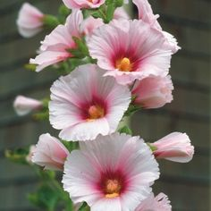 Love hollyhocks. by yvette