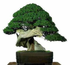 "Bonsai trees are the pinnacle of miniature plants, and can vary on the ""awesome"" spectrum from ""cute"" to ""epic."" The cute bonsai trees have flowers and are tiny – like you took a shrink ray to a beautiful tree. The epic bonsai trees look like they're blowing in an intense wind with samurais sleeping under their branches."