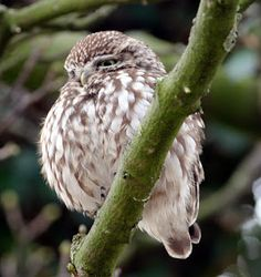 Another Bird Blog: Little But Not Often  This account from Czechoslovakia mirrors the story of the UK population of Little Owls. The BTO's  Common Bird Census/Breeding Bird Surveys trend for Little Owl in the UK shows very wide variation, but a downturn in recent decades suggests that a rapid decline lies behind the observed fluctuations.