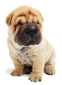 Must see Shar Pei Chubby Adorable Dog - 54382dbaa09ad277dd799d51fdb2a698--sharpei-dog-shar-pei  Picture_259999  .jpg