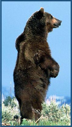 Spirit Animal Guide Grizzly Bear-Native American symbol of majesty, freedom, and power. balancedwomensblog.com