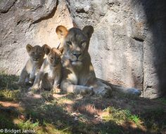 ADORABLE!  New lion cubs at the NC Zoo!