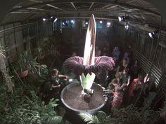 Botanischer Garten Uni Basel - Titanwurz blüht