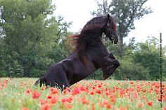 The stallion Agelan of our member Cordula Wedlich - photographed by Eva Pototcnik