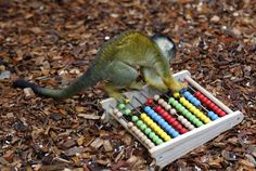 London Zoo A black-capped squirrel monkey plays during the stocktake. HAN YAN-XINHUA-ZUMA PRESS http://www.wsj.com/articles/photos-london-zoo-takes-stock-1420503690