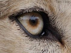 Wolf Eyes---Lovers of Wolves Photo