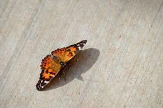 Annabanana: Desert Botanical Garden Butterflies