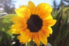 Home grown sunflower