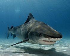 Tiger Shark Facts For Kids   Tiger Shark Habitat   Tiger Shark Diet