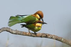 Chestnut-headed Bee-eater by Allan Seah on 500px