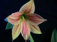 Hippeastrum Exotic Star Amaryllis - 2 BulbsSophisticated amaryllis aficionados will love this one. Less gaudy than the old classics,  Exotic Star  ope