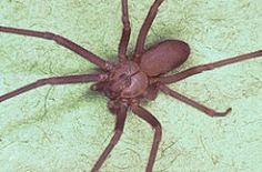 8 best spiders in the united states images in 2019 common spiders rh pinterest com