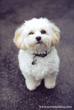 Cutest little Shi-Poo dog ever!  www.novamarkina.com www.novamarkina-blog.com Shi-poo, Shih-poo, MyOodle, My Oodle, Oodle, Doodle, Dog, Poodle, Poodle Mix, Poodle Hybrid pinned by MyOodle.com