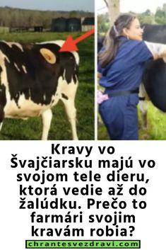 Kravy vo Švajčiarsku majú vo svojom tele dieru, ktorá vedie až do žalúdku. Prečo to farmári svojim kravám robia?