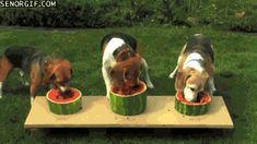 Beagles Enjoy Watermelon