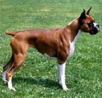 The Boxer Dog Breed:  The boxer is playful, exuberant, inquisitive, attentive, demonstrative, devoted and outgoing; he is a perfect companion for an active family. He ...