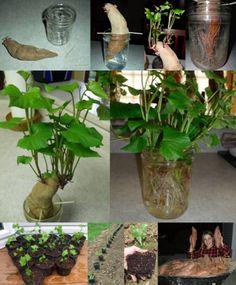 The Homestead Survival   Frugally Start Your Own Sweet Potato Garden Slips   http://thehomesteadsurvival.com