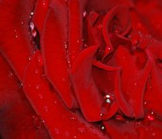 Raindrop Red Rose Petals - Laureenr Red Rose Petals, Red Roses, Rose Gift, Rain Drops, Orchids, Flowers, Gifts, Presents, Favors