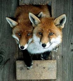 Pham Pham Billingsley and this, I swear by everything in this world I will one day own a pet fox. Funny Animal Pictures, Funny Animals, Cute Animals, Funny Foxes, Funny Pics, Beautiful Creatures, Animals Beautiful, Fox Memes, Fuchs Baby