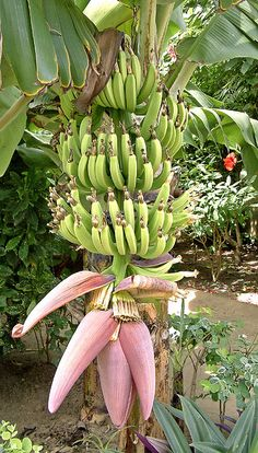 Banana tree in flower, The Gambia by Anguskirk, via Flickr
