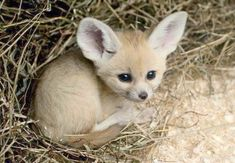 This this... omgosh this just D'AWWWWW!!!!! Fennec Fox baby.