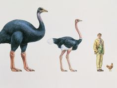 Native to Madagascar, the recently extinct (1600s) Elephant birds are believed to have been over 3 metres (10 ft) tall and weighed close to 400 kg (880 lb).
