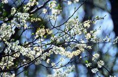 Cherry blooming stock photo