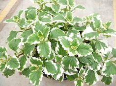 Variegated Plectranthus  --  Plectranthus coleodes...great spiller. Partial shade. Annual.