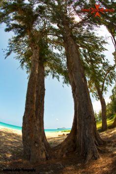 Ironwood tree, Waimanalo beach, Oahu Hawaii