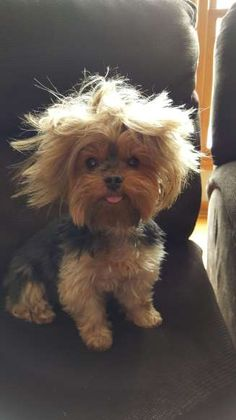 This Hairy Dog - Courtesy Shelley Strnad Ungroomed tresses forces you to think filthy and Yorkies, Yorkie Puppy, Funny Dog Photos, Funny Dogs, Funny Kitties, Funny Horses, Adorable Kittens, Kitty Cats, Cute Puppies