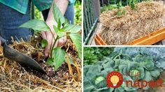 Chcete sa tešiť z bohatej úrody? Vložte priesady do slamy, neuveríte, aký úžasný vplyv to má na pestovanie!