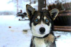 © Yoan Fontan - La chienne Inouk - Finlande
