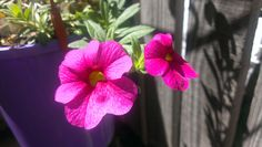 Potted Pink 2015