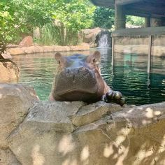 Oh, Hi Fiona!  #FionaFix House Hippo, Fiona The Hippo, Funny Animals, Cute Animals, Cincinnati Zoo, 2021 Calendar, Hippopotamus, Botanical Gardens, Wildlife