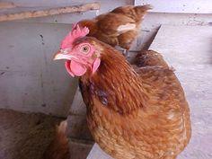 Sick Hen...useful information